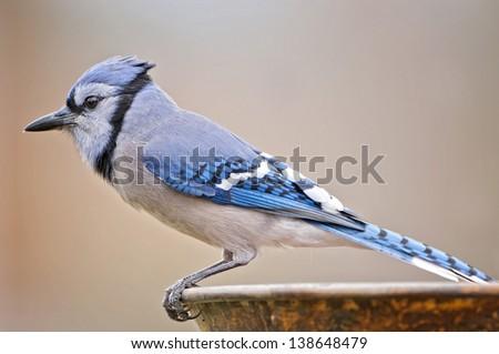 Blue Jay Profile