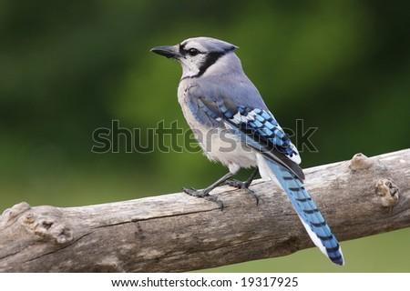 Blue Jay resting on a tree limb.