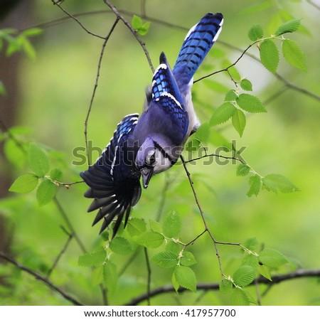 Blue Jay Take Off