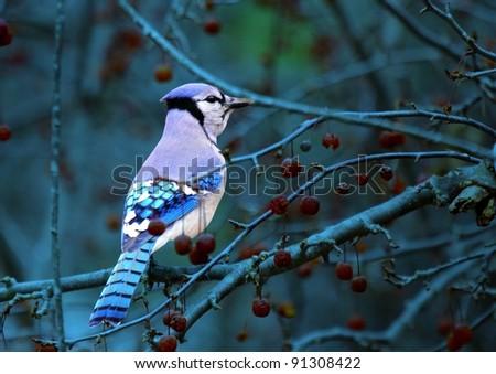 Blue jay twilight
