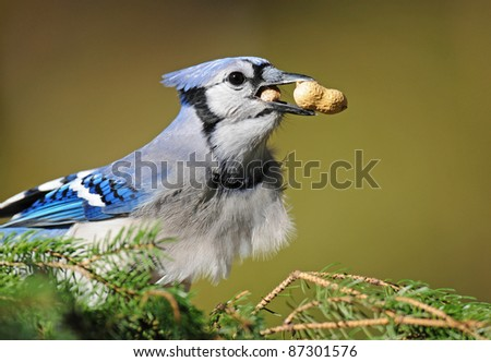 Blue jay with a peanut in its craw and another peanut in its beak - stock photo