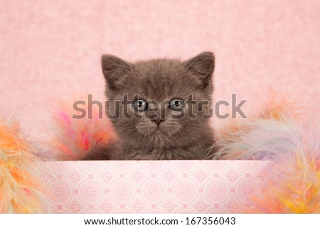 Blue kitten sitting inside pink gift box container with colorful feather boa on pink background