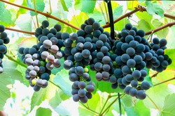 blue large grape variety black cherry. Berries are large, oval or ovoid, black