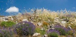 Blue lavender , orange flowers, green and dry grasses with clear blue sky in provence during summer