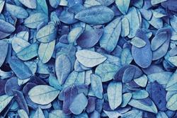 Blue leaf pattern /  Blue Leaf pattern / Texture background of backlight fresh blue Leaf./ Leaves falling on ground.