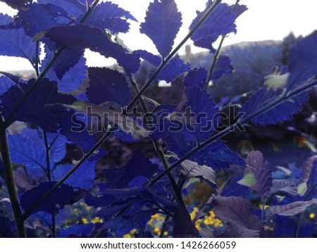 Blue leaves in a public park. Yellow elements in the background. Artificial colors. There is a white sky that has a lot of clouds. The weather isn't serene.  Nature place. Beauty. Pic captured in June