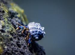 Blue leg hermit crab posing on algae covered volcanic rock in brackish aquarium