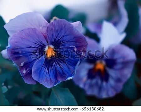 Free photos purple flower with yellow center avopix blue lilac purple flowers with a yellow center 656130682 mightylinksfo