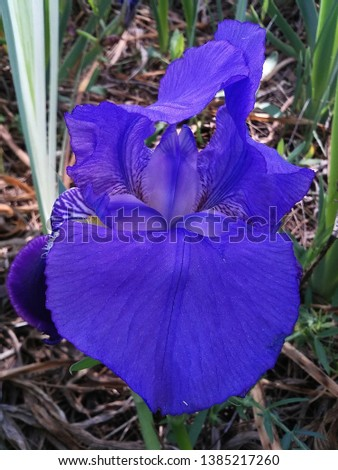 blue lily in wild natural environment #1385217260