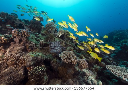 Blue lined snappers in the Red Sea
