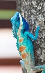 Blue lizard (lacerta viridis), beauty colorful background blur