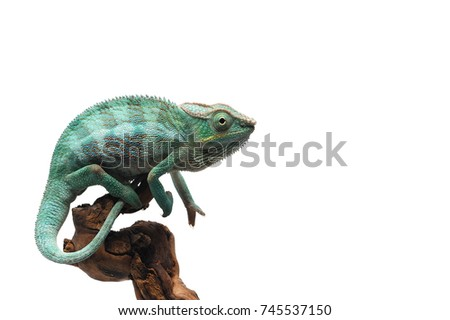 Blue lizard Panther chameleon isolated on white background - Shutterstock ID 745537150