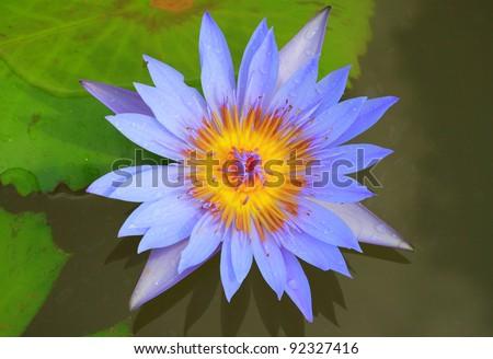 Blue lotus blossoming