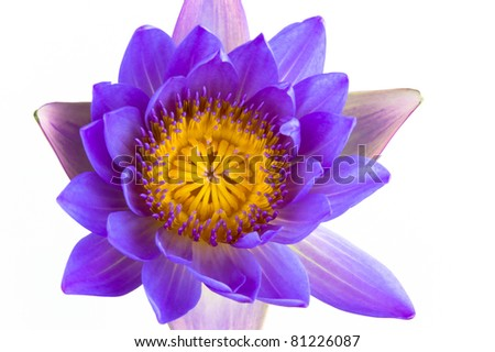 Blue Lotus Flower And White Background The Lotus Is