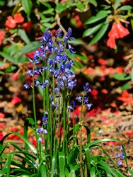 Blue lupines (Lupinus Perennis) against the background of red rhododendron