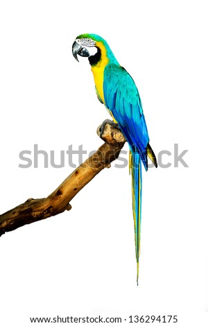 Blue Macaw  on white background animal bird parrot macaw costa rica blue macaw blue and gold macaw central america blue bird blue parrot macaw parrot
