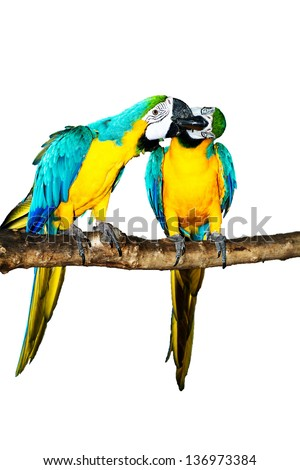 Blue Macaw on white background Blue Macaw  on white background animal bird parrot macaw costa rica blue macaw blue and gold macaw central america blue bird blue parrot macaw parrot