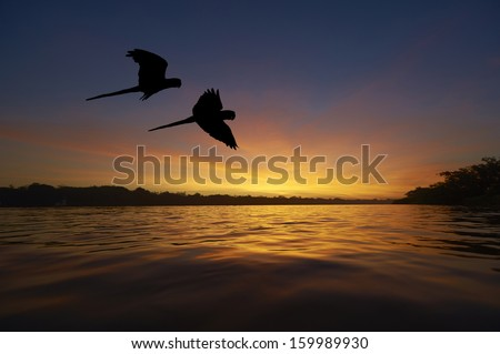 Blue macaws in the Amazon area