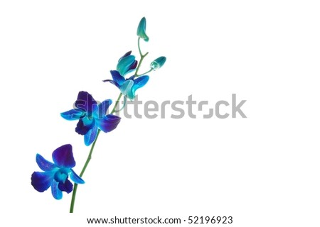 Blue Malaysian Orchids Isolated on White