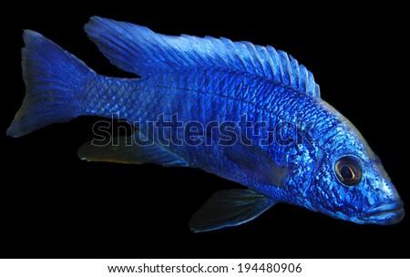 cobalt blue african cichlid