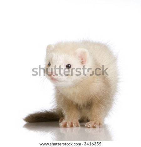 blue male Ferret kit (10 weeks) in front of a white background