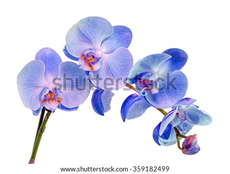 Blue, mauve, violet branch orchid  flowers, Orchidaceae, Phalaenopsis known as the Moth Orchid, abbreviated Phal. Close up, isolated, white background.