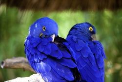 Blue mccaws taking a nap