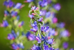 Blue melliferous flowers - Blueweed (Echium vulgare). Viper's bugloss is a medicinal plant. Macro.