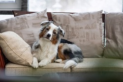 Blue Merle Australian Shepherd. Care for long curly hair. The puppy lies on sofa and looks at the camera with a sad look. Obedience, patience and training. Aussie is waiting for the owner
