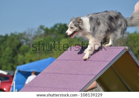 Blue Merle Border Collie Climbing an A-frame at a Dog Agility Trial