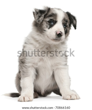 Blue Merle Border Collie puppy, 6 weeks old, sitting in front of white background