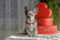 Blue merle French bulldog sitting in a studio with heart decorations