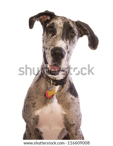 Blue Merle Great Dane sitting head shot isolated on white background