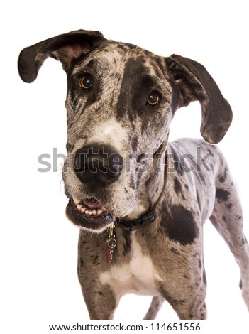 Blue Merle Great Dane standing head shot isolated on white background - stock photo