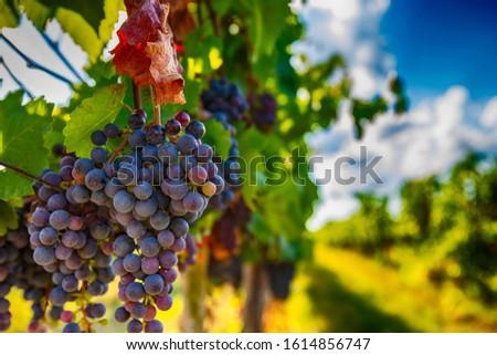 blue merlot grapes in green summer vineyard Foto d'archivio ©