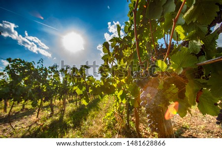 blue merlot grapes in green vineyard.ready to be picked and tasted