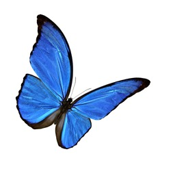 Blue Morpho butterfly (disambiguation) isolated on white background