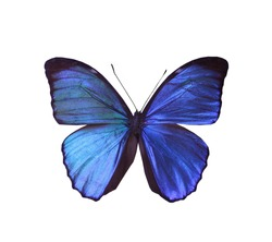 blue morpho  butterfly isolated, set of realistic amazing tropical butterflies and alive  bug , zoology,wild ,entomology, beautiful wing collection ,insect animal stuff icon