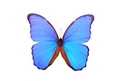 Blue Morpho Butterfly (Morpho didius) , isolated on white background.