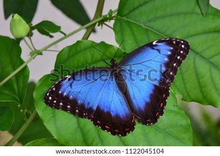 Blue Morpho Butterfly, Morpho peleides #1122045104