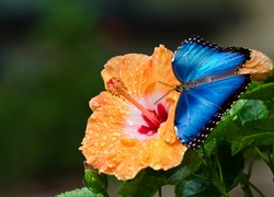 Blue Morpho butterfly (Morpho peleides) on yellow orange hibiscus flower with water droplets. Natural dark green background.