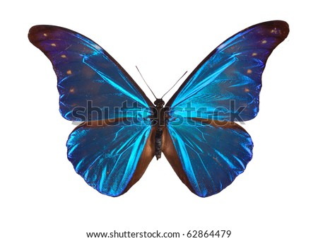 Blue Morpho butterfly (Morpho retenor) from South America.