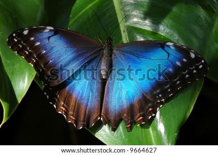 Blue Morpho- Morpho peleides