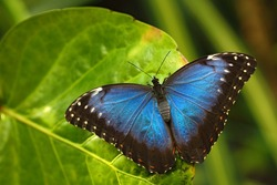 Blue Morpho, Morpho peleides, big butterfly sitting on green leaves, insect in the nature habitat, Panama.