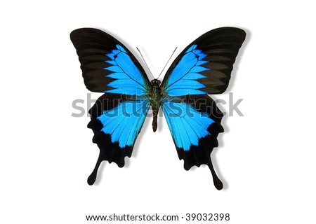 Blue Mountain Butterfly isolated on white. Clipping path included