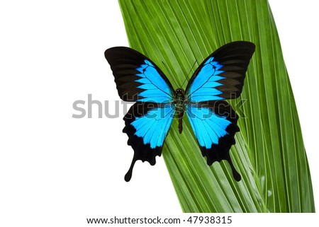 Blue Mountain Butterfly on a green coconut palm leaf.