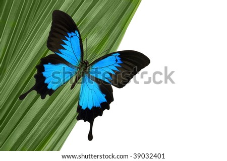 Blue Mountain Butterfly on green palm leaf.