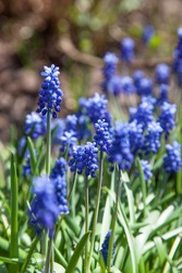 Blue Muscari flowers close up. A group of Grape hyacinth (Muscari armeniacum) blooming in spring