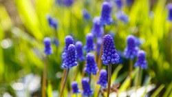 Blue Muscari flowers close up. A group of Grape hyacinth (Muscari armeniacum) blooming in the spring garden.