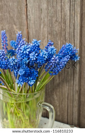 Blue Muscari flowers, grape hyacinth, Bluebells (Grape Hyacinth, Muscari armeniacum)